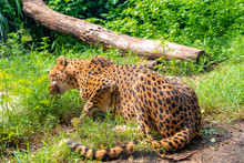 Cute Leoprad Lying In The Grass Eating Meat.