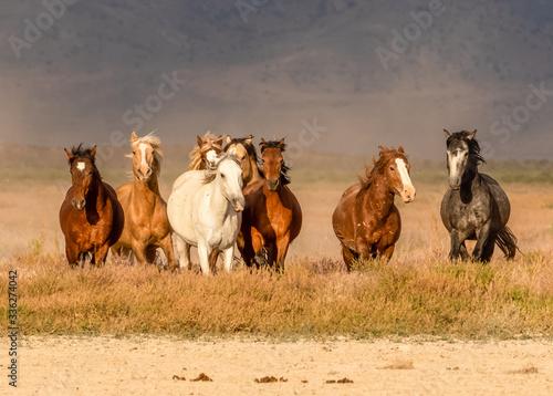 Fotografie, Obraz Wild horses in desert of Utah