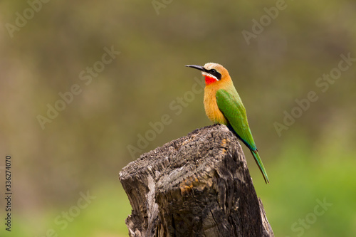 Leinwand Poster White fronted bee-eater
