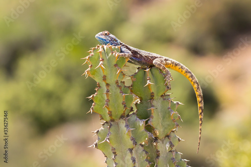 Blue head agama karoo south africa Canvas Print