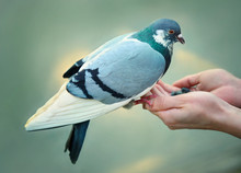 Feeding Feral Pigeon By Hands