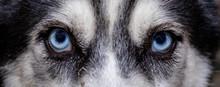 Closeup Of Dog Blue Eyes