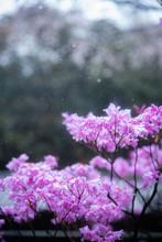 3月の雪桜