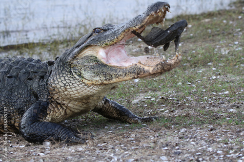 Photo alligator playing with its meal