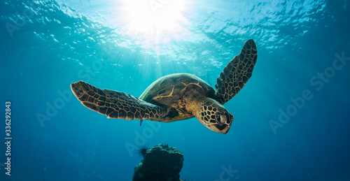 Green sea turtle hovers on the west side of maui and comes up or a breath over a Fototapet