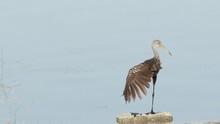 A Wading Limpkin Bird Stretche...