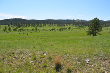 Late Spring In South Dakota: Buffalo Herd Scattered Not Far From The Corrals Along The Custer State Park Wildlife Loop Road In The Black Hills