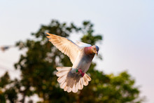 Homing Pigeon Bird Flying Mid ...