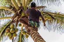 Man Climbing Cocos Branch Harv...