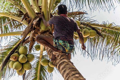 Fototapeta Man Climbing Cocos branch harvester harvests coconut palm tree trunk