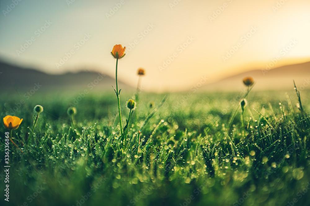 Fototapeta Beautiful yellow daisy in the morning dew. Shallow depth of field