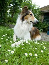 Dog. Scottish Collie