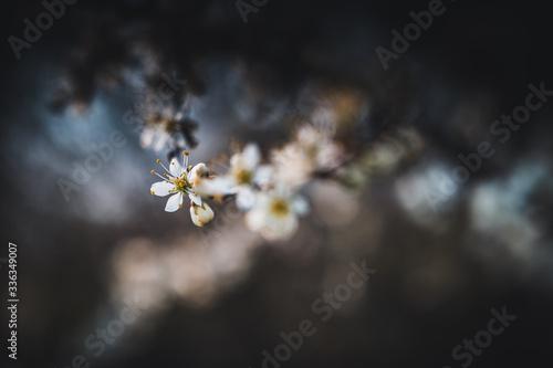 Blooming sloe flowers close up Fototapet