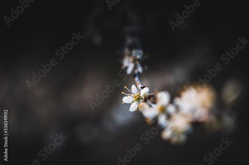 Fotografie, Obraz Blooming sloe flowers close up
