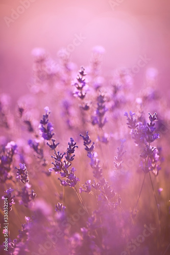 beautiful lavender field at sunset.Sunset over a violet lavender field in Provence #336352214