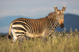 Fototapeta Sawanna - Zebra im Mountain Zebra Nationalpark in Südafrika