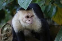 White Faced Capuchin, Guanacas...