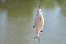 A Fish That Has Swallowed A Wo...