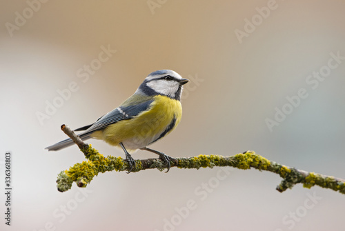 Photo Blue Tit - Parus caeruleus, beautiful colored perching bird from European forests and gardens, Czech Republic