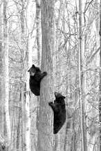 Vertical Greyscale Shot Of Two Black Bears Climbing The Tree Trunk