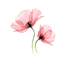 Watercolor Poppy Artwork. Tran...