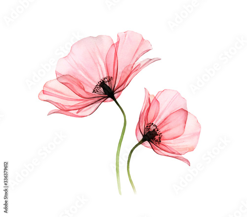 Watercolor Poppy artwork. Transparent big and small flowers isolated on white. Hand painted illustration with detailed petals. Botanical painting for cards, wedding design - 336379612