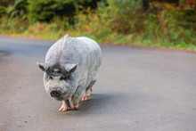 A Beautiful Pig. Gray Pig With A Wet Nose. An Animal Walks Through The Forest.