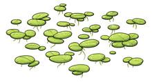 Common Duckweed Illustration, ...