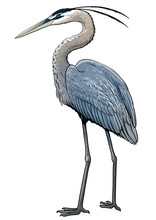 Grey Heron Illustration, Drawing, Colorful Doodle Vector