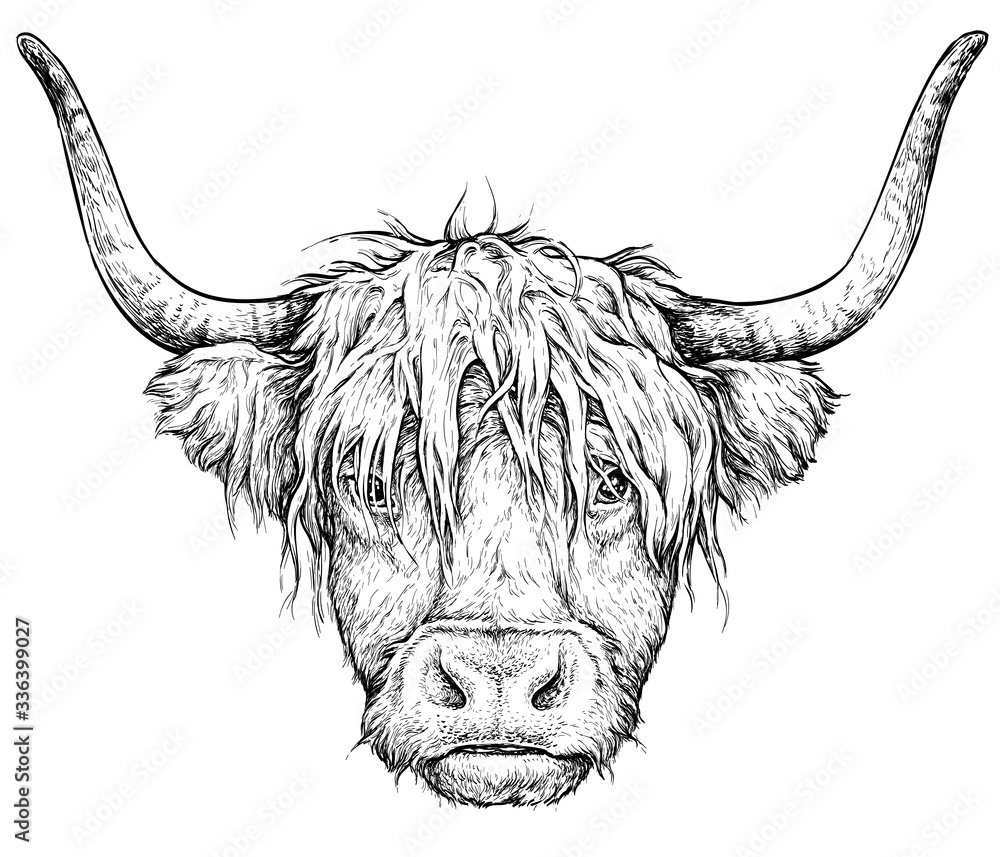 Fototapeta Realistic sketch of Scottish highland Cow, black and white drawing, isolated on white