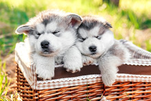 Two Cute Alpine Malamute Puppies Are Sleeping In A Brown Basket. Shaggy White-gray Puppies In The Forest. Greeting Card. Close-up.