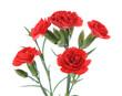 carnation branch