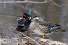 Wood Ducks In Spring