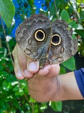 Giant Owl Butterfly Looks Diff...