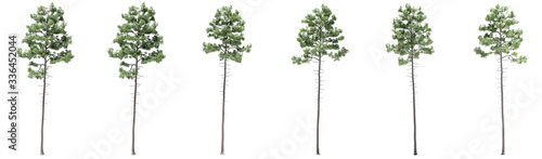 Fotografia, Obraz Set or collection of green pine trees isolated on white background