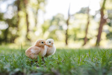 Two Baby Free Range Chicks Out...