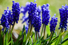 Blue Grape Hyacinths Are Illuminated By The Midday Sun