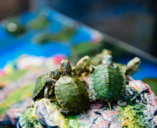 Baby Turtles For Sale At A Pet Shop