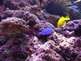 Fototapeta  - Rafa koralowa kolorowe rybki