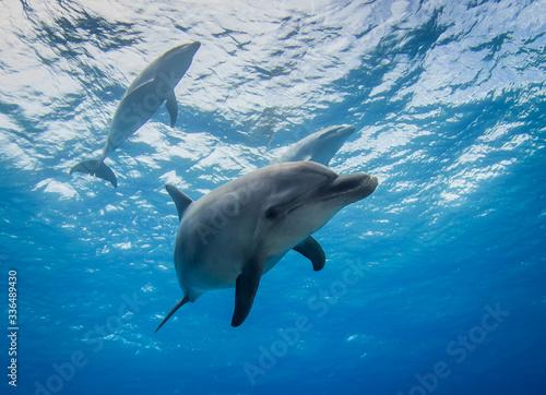 Cuadros en Lienzo dolphin in the water