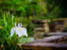 African Iris Beside On Pond