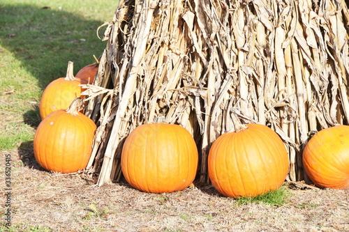 Vászonkép Pumpkins and Cornstalks