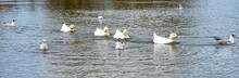 Large White Heavy American Aylesbury Peking Pekin Ducks Water Level Close Up View. Donald Duck Look A-likes - Fours Ducks In A Row - Getting Your Ducks In A Row