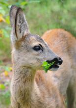 European Roe Deer (Capreolus C...