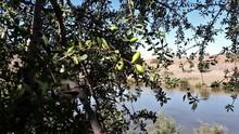 Fruits D'un Arganier Au Bord D'un Lac Au Sud Du Maroc