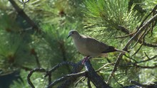 Eurasian Collared Dove Adult P...