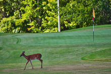 Deer Walking Across Approach To A Golf Course Green With Flag