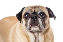 Frowning Pug Dog  Isolated