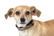 Small Mixed White Brown Dog Fl...