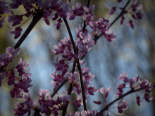 Red Bud Cherry Blossoms Bloomi...